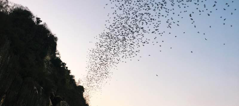the bat spectacle in Banan