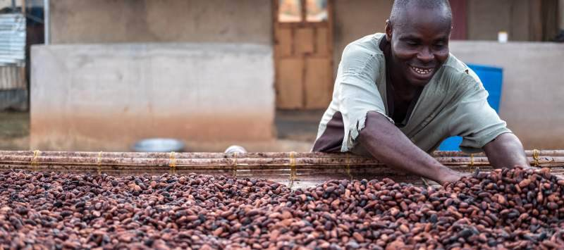 A cocoa farmer spreads the harvested beans along a drying rack